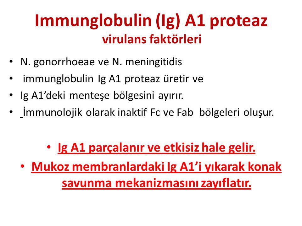 Immunglobulin (Ig) A1 proteaz virulans faktörleri