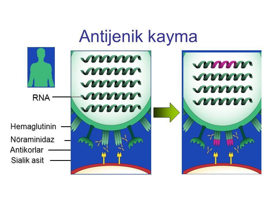 Antijenik kayma Slide 23 RNA Hemaglutinin Nöraminidaz Antikorlar
