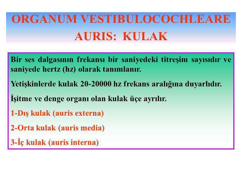 ORGANUM VESTIBULOCOCHLEARE AURIS: KULAK