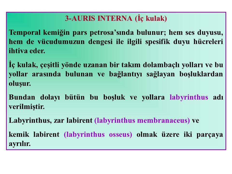 3-AURIS INTERNA (İç kulak)