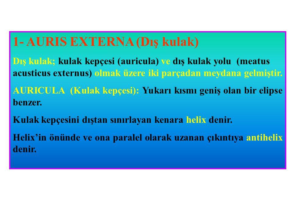 1- AURIS EXTERNA (Dış kulak)