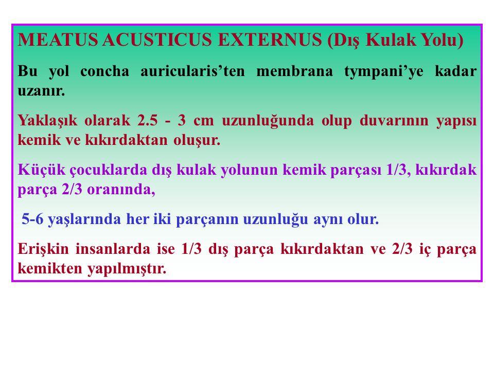 MEATUS ACUSTICUS EXTERNUS (Dış Kulak Yolu)