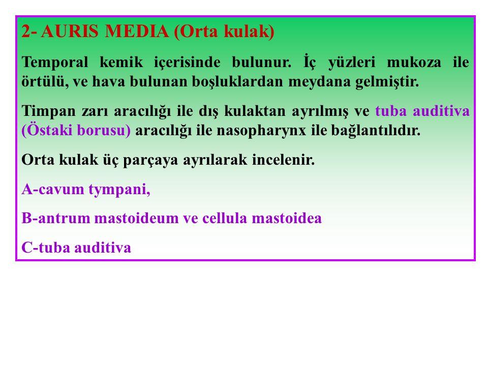 2- AURIS MEDIA (Orta kulak)