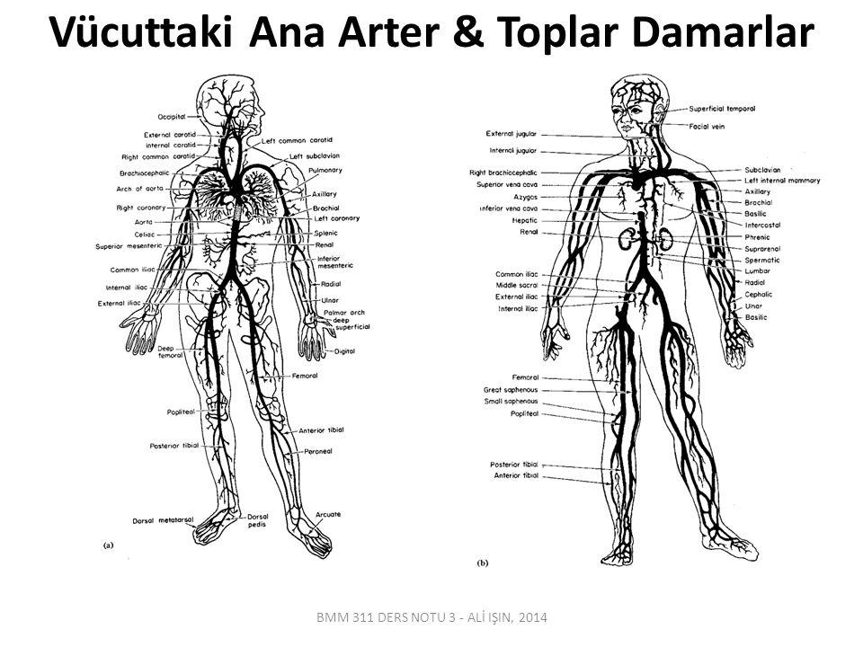 Vücuttaki Ana Arter & Toplar Damarlar