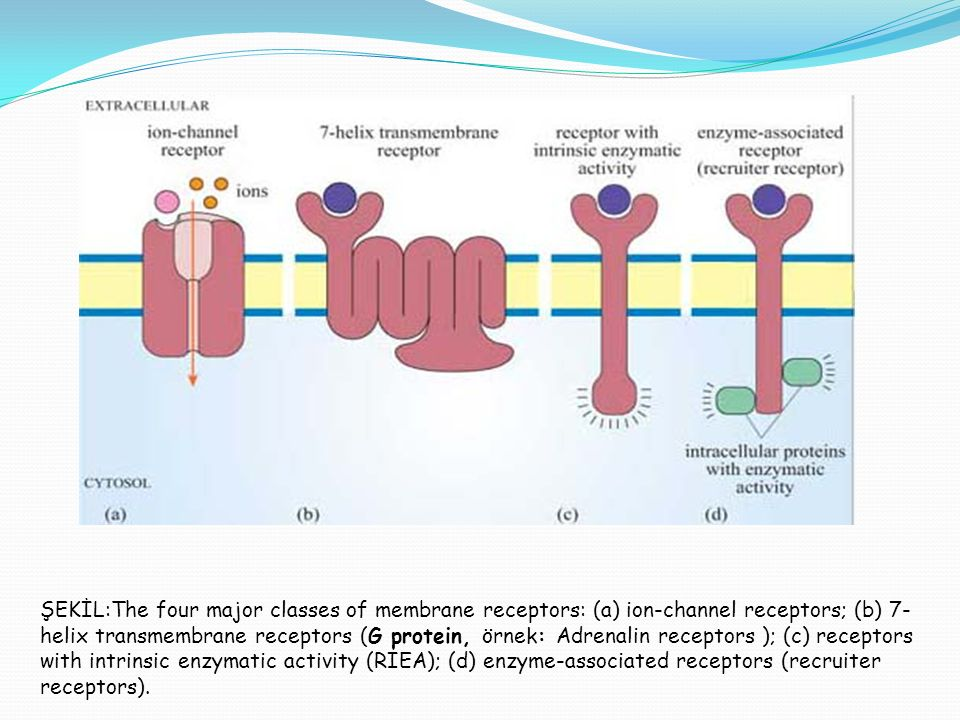ŞEKİL:The four major classes of membrane receptors: (a) ion-channel receptors; (b) 7-helix transmembrane receptors (G protein, örnek: Adrenalin receptors ); (c) receptors with intrinsic enzymatic activity (RIEA); (d) enzyme-associated receptors (recruiter receptors).