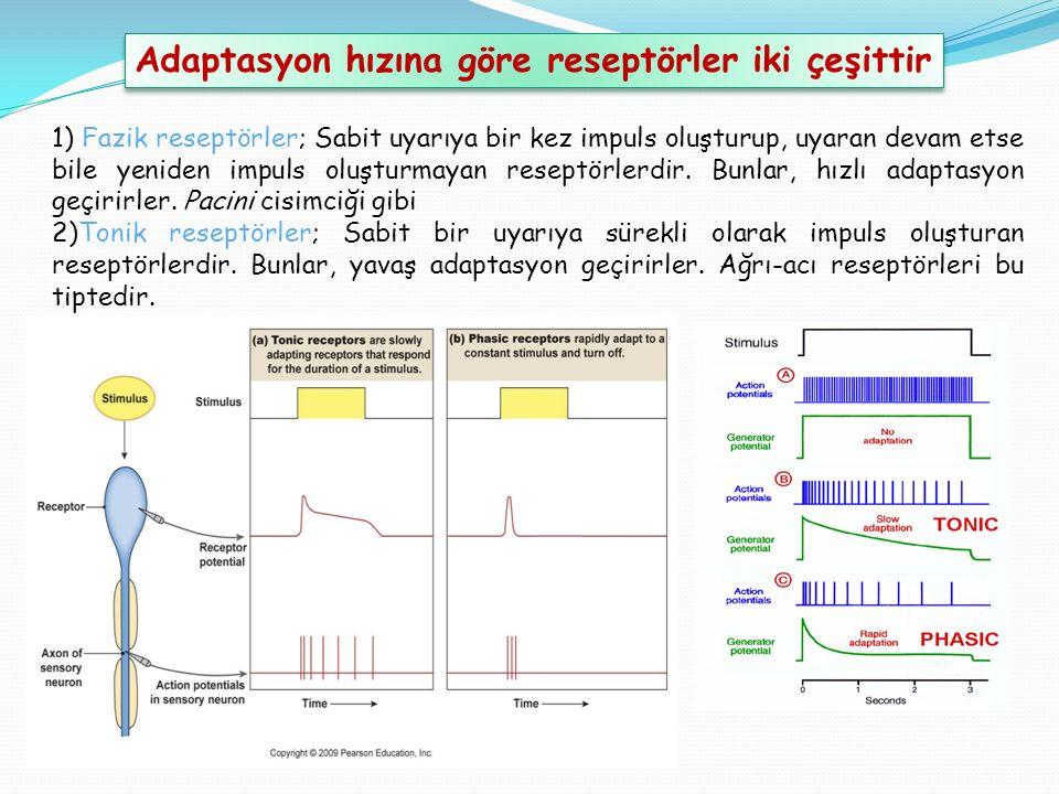 Adaptasyon hızına göre reseptörler iki çeşittir