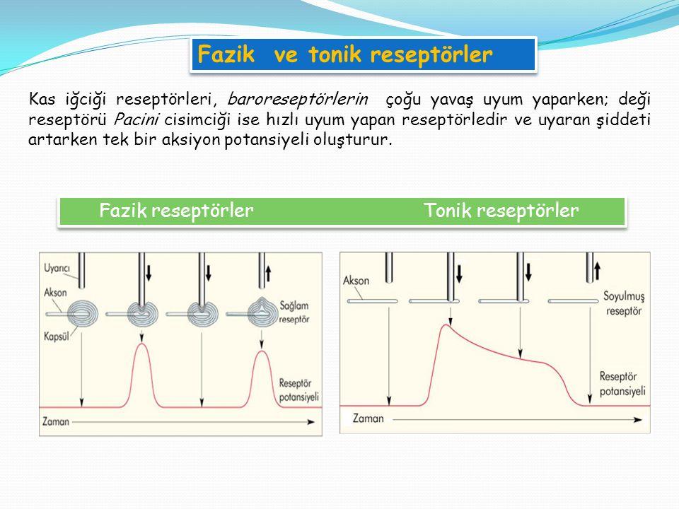 Fazik ve tonik reseptörler
