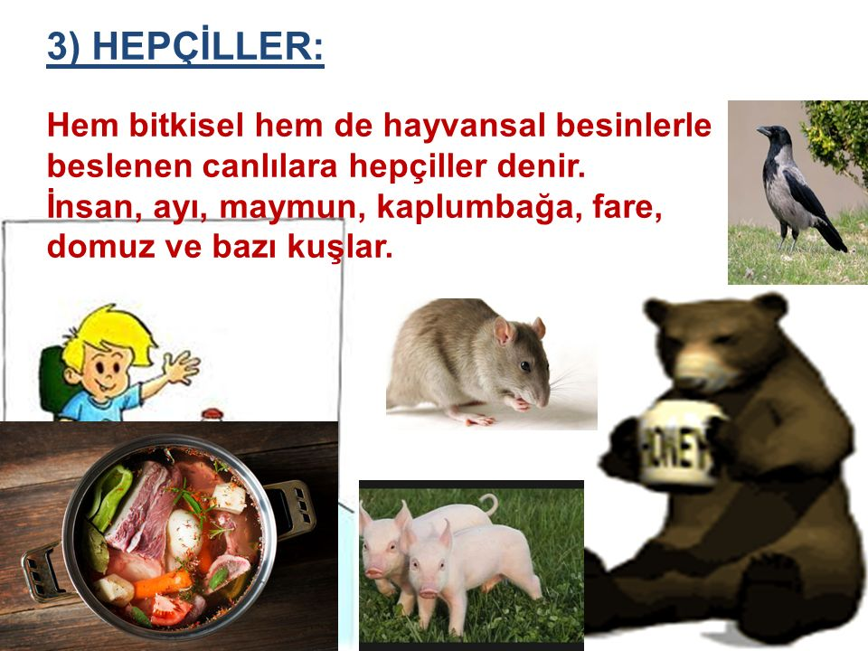 3) HEPÇİLLER: Hem bitkisel hem de hayvansal besinlerle beslenen canlılara hepçiller denir.