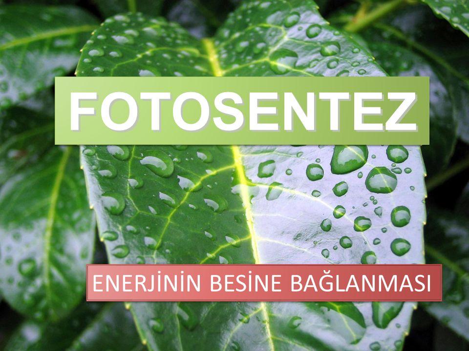 FOTOSENTEZ ENERJİNİN BESİNE BAĞLANMASI