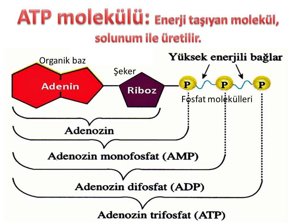 ATP molekülü: Enerji taşıyan molekül, solunum ile üretilir.