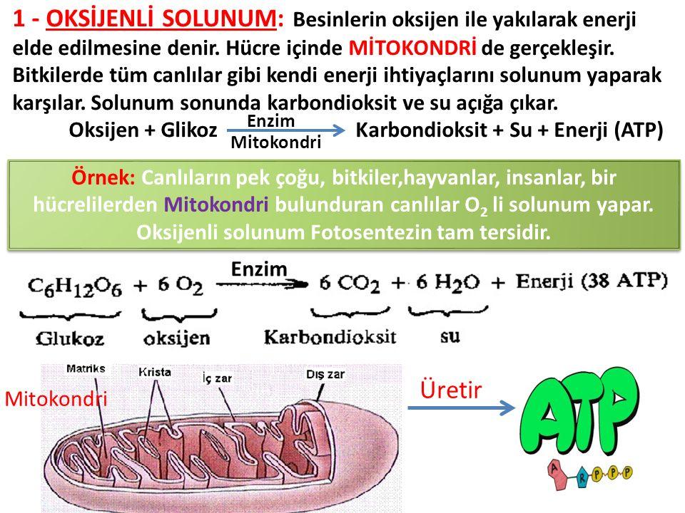 1 - Oksİjenlİ Solunum: Besinlerin oksijen ile yakılarak enerji elde edilmesine denir. Hücre içinde mİtokondrİ de gerçekleşir.