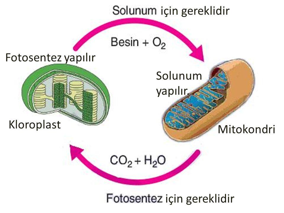 için gereklidir Fotosentez yapılır Solunum yapılır. Kloroplast Mitokondri için gereklidir