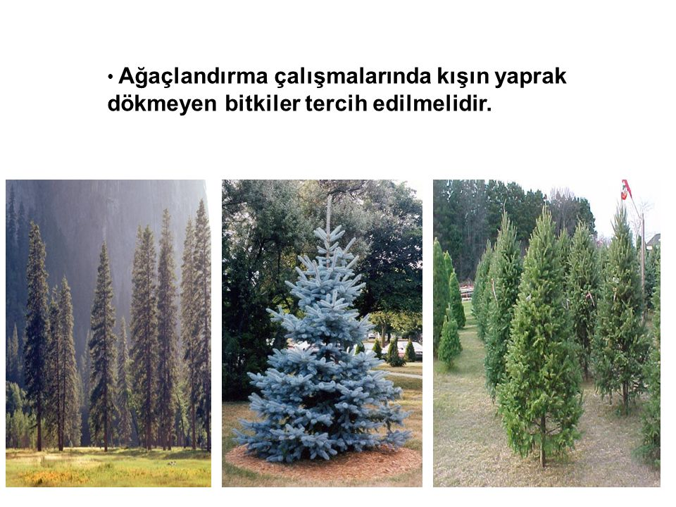 Ağaçlandırma çalışmalarında kışın yaprak dökmeyen bitkiler tercih edilmelidir.