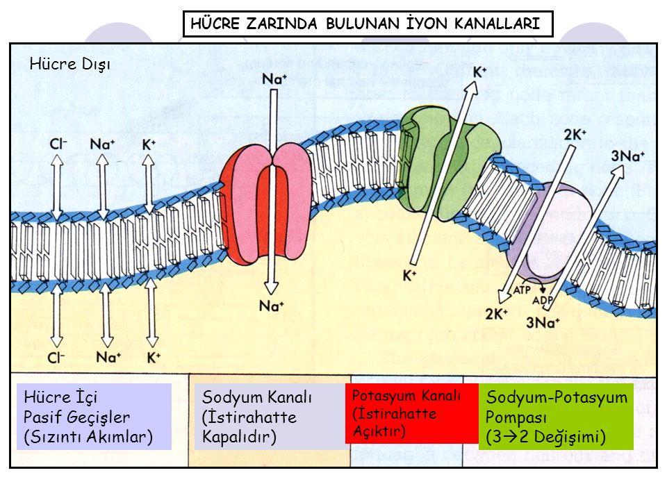 (İstirahatte Kapalıdır) Sodyum-Potasyum Pompası (32 Değişimi)