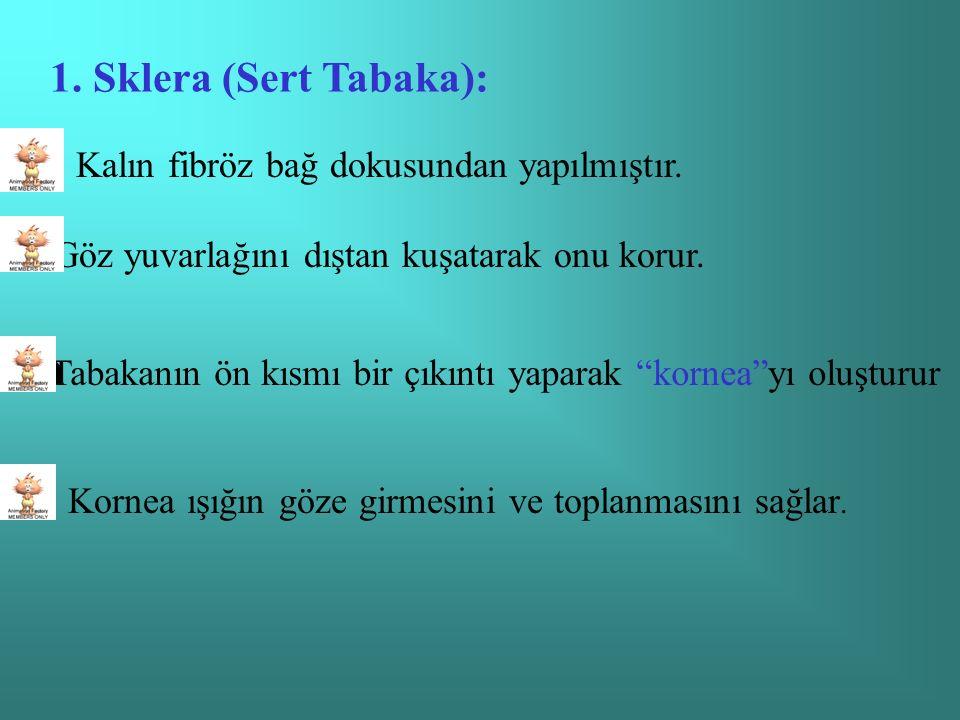 1. Sklera (Sert Tabaka):  Kalın fibröz bağ dokusundan yapılmıştır.