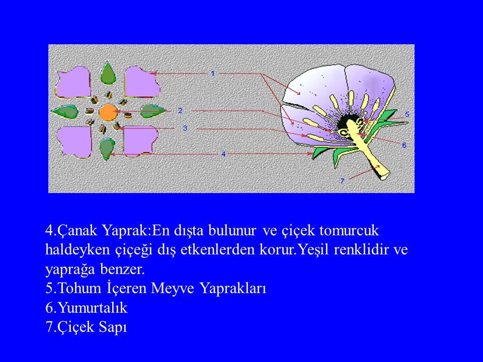 4.Çanak Yaprak:En dışta bulunur ve çiçek tomurcuk haldeyken çiçeği dış etkenlerden korur.Yeşil renklidir ve yaprağa benzer.