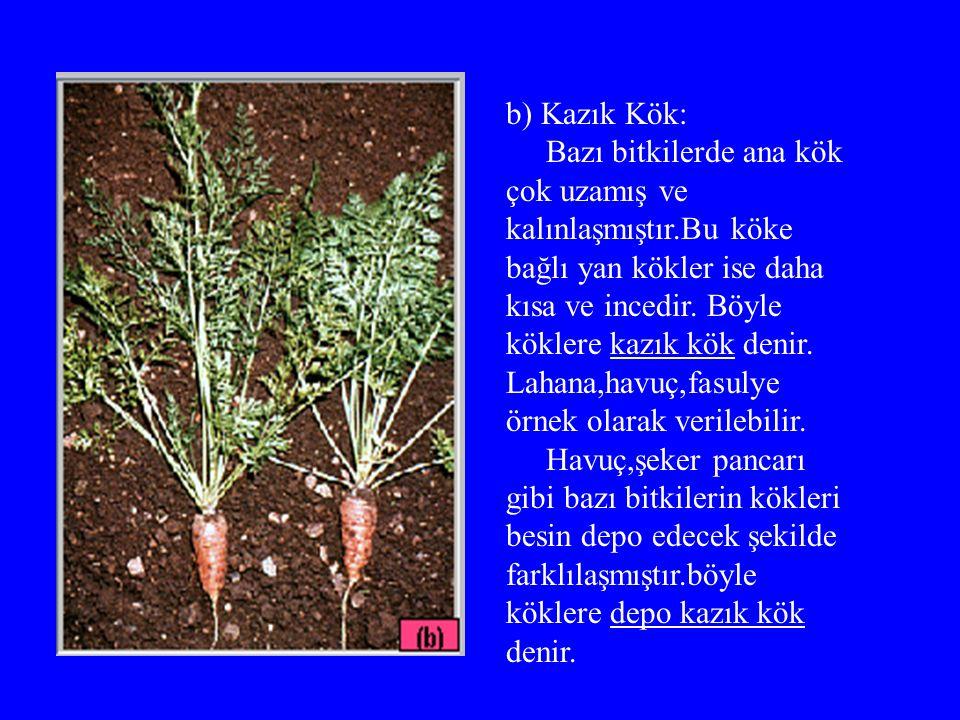 b) Kazık Kök: Bazı bitkilerde ana kök çok uzamış ve.