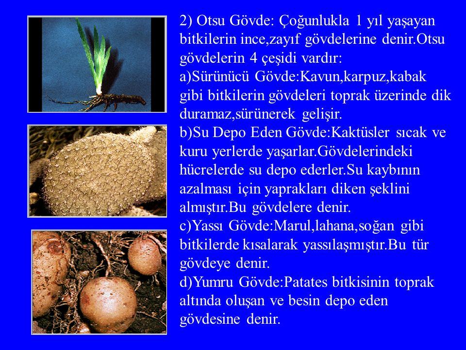 2) Otsu Gövde: Çoğunlukla 1 yıl yaşayan bitkilerin ince,zayıf gövdelerine denir.Otsu gövdelerin 4 çeşidi vardır: a)Sürünücü Gövde:Kavun,karpuz,kabak gibi bitkilerin gövdeleri toprak üzerinde dik duramaz,sürünerek gelişir.