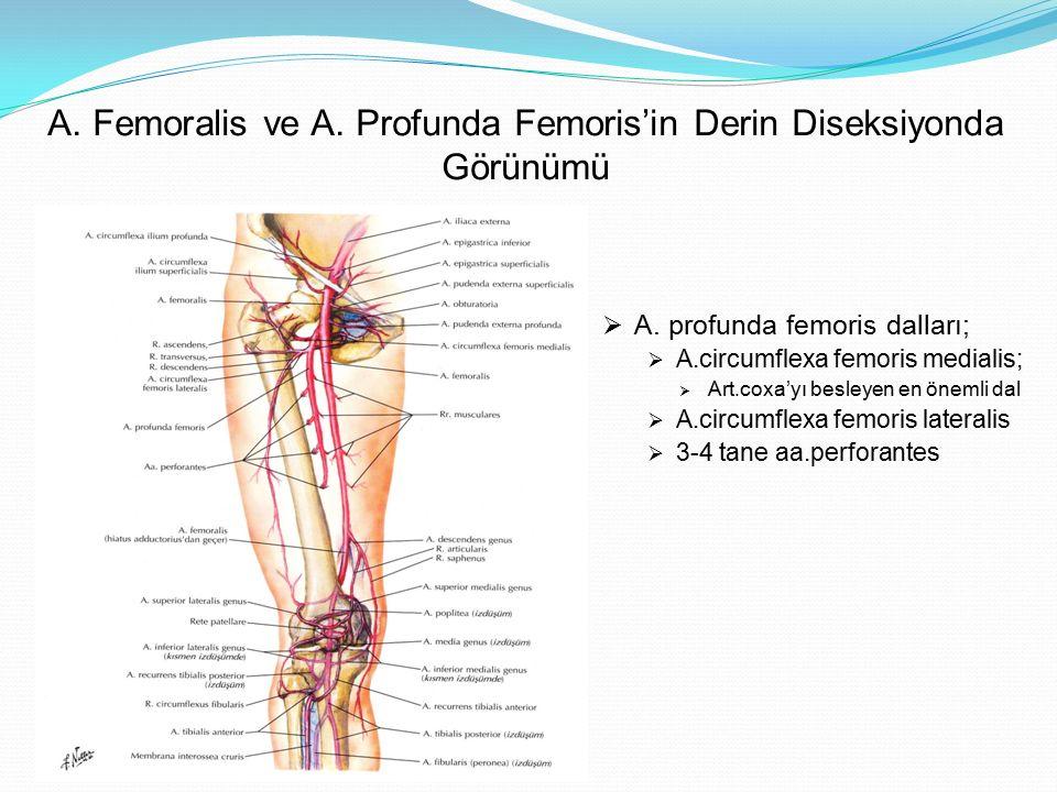 A. Femoralis ve A. Profunda Femoris'in Derin Diseksiyonda Görünümü
