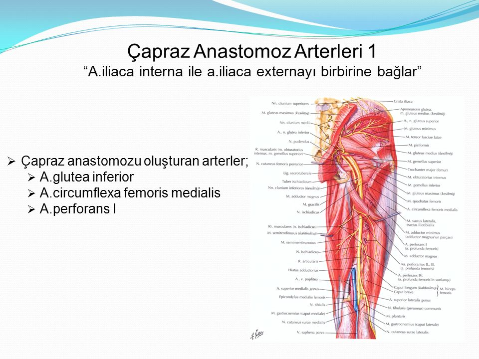 Çapraz Anastomoz Arterleri 1 A. iliaca interna ile a