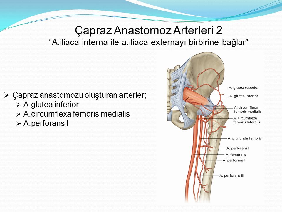 Çapraz Anastomoz Arterleri 2 A. iliaca interna ile a