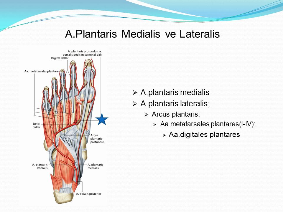 A.Plantaris Medialis ve Lateralis