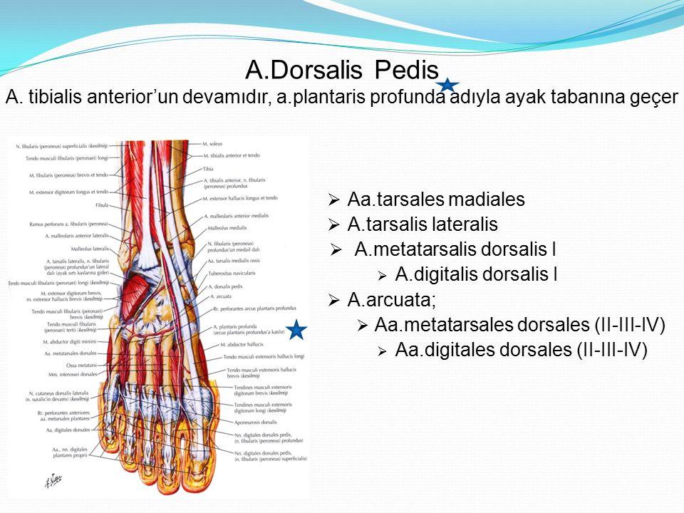 A. Dorsalis Pedis A. tibialis anterior'un devamıdır, a