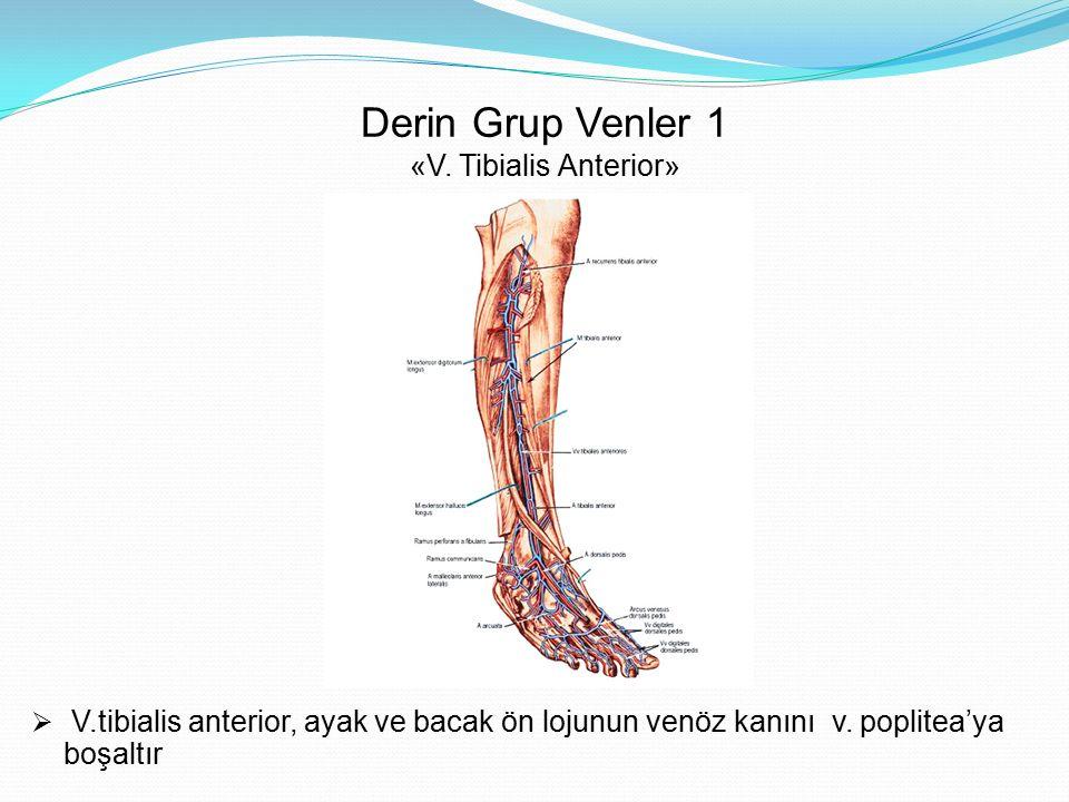 Derin Grup Venler 1 «V. Tibialis Anterior»