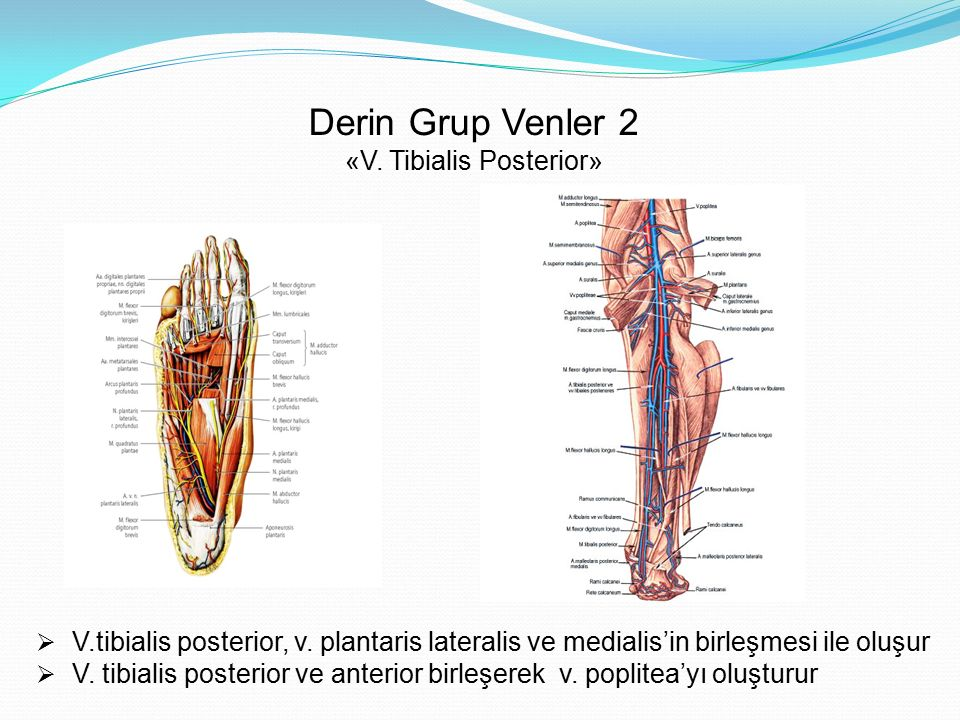 Derin Grup Venler 2 «V. Tibialis Posterior»
