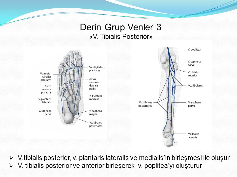 Derin Grup Venler 3 «V. Tibialis Posterior»