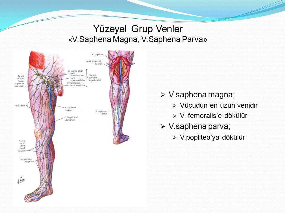 Yüzeyel Grup Venler «V.Saphena Magna, V.Saphena Parva»