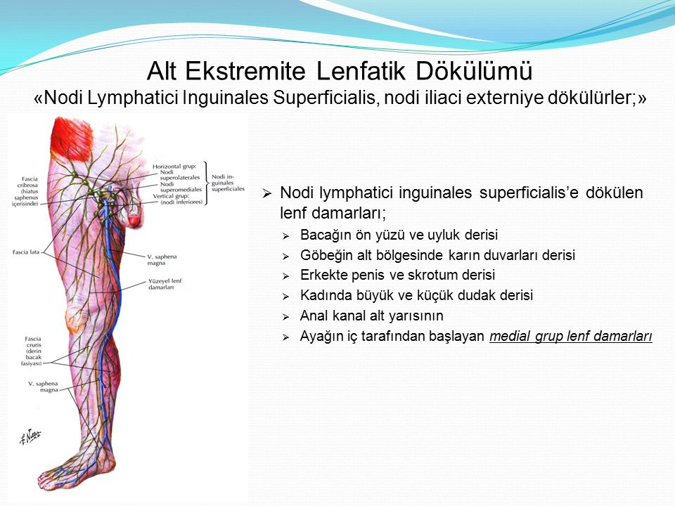 Alt Ekstremite Lenfatik Dökülümü «Nodi Lymphatici Inguinales Superficialis, nodi iliaci externiye dökülürler;»