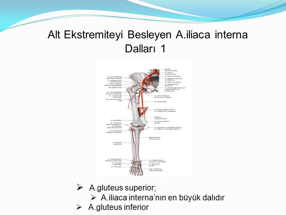 Alt Ekstremiteyi Besleyen A.iliaca interna Dalları 1