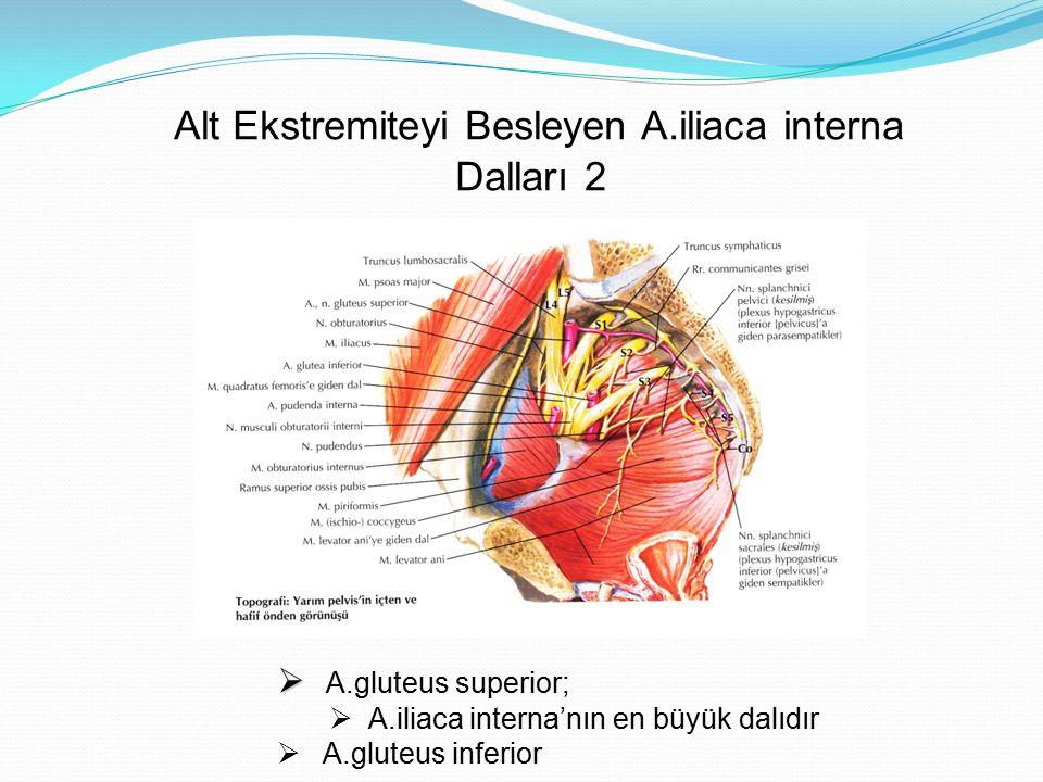 Alt Ekstremiteyi Besleyen A.iliaca interna Dalları 2