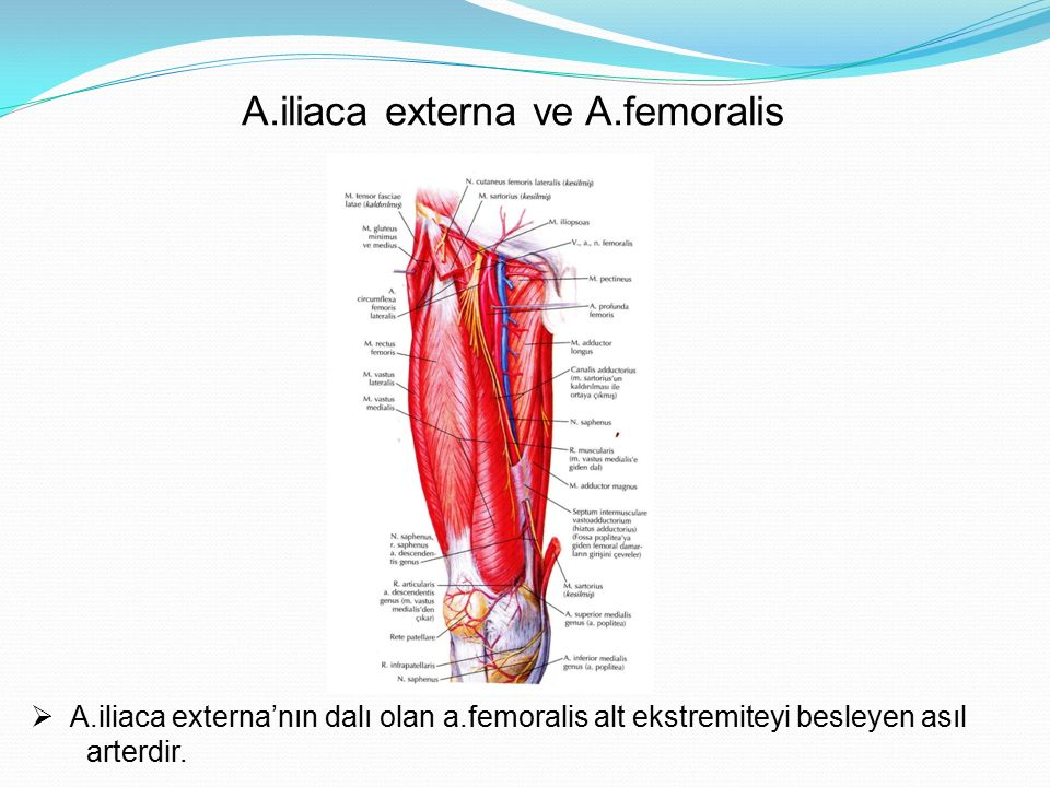 A.iliaca externa ve A.femoralis