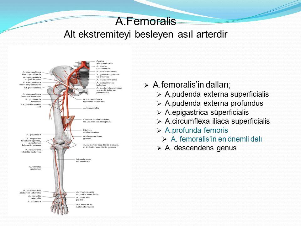 A.Femoralis Alt ekstremiteyi besleyen asıl arterdir