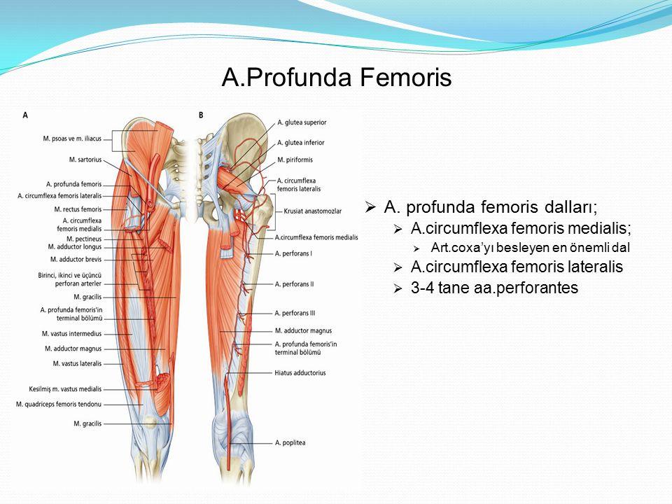 A.Profunda Femoris A. profunda femoris dalları;