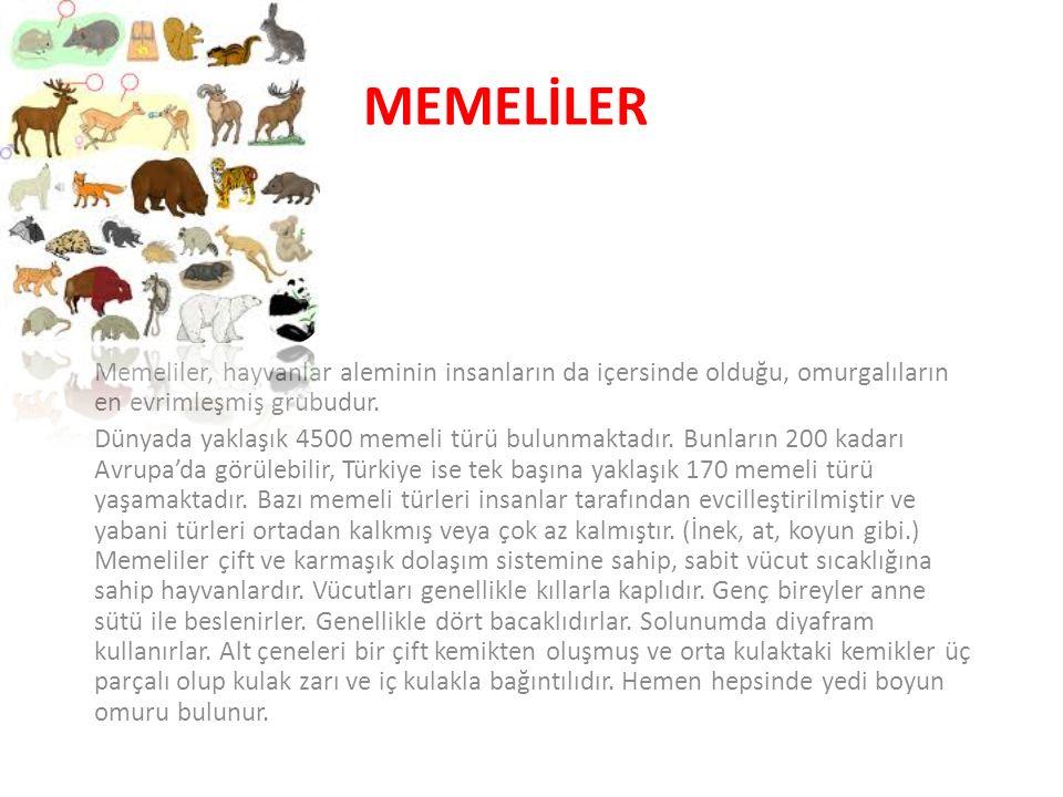 memelİler Memeliler, hayvanlar aleminin insanların da içersinde olduğu, omurgalıların en evrimleşmiş grubudur.
