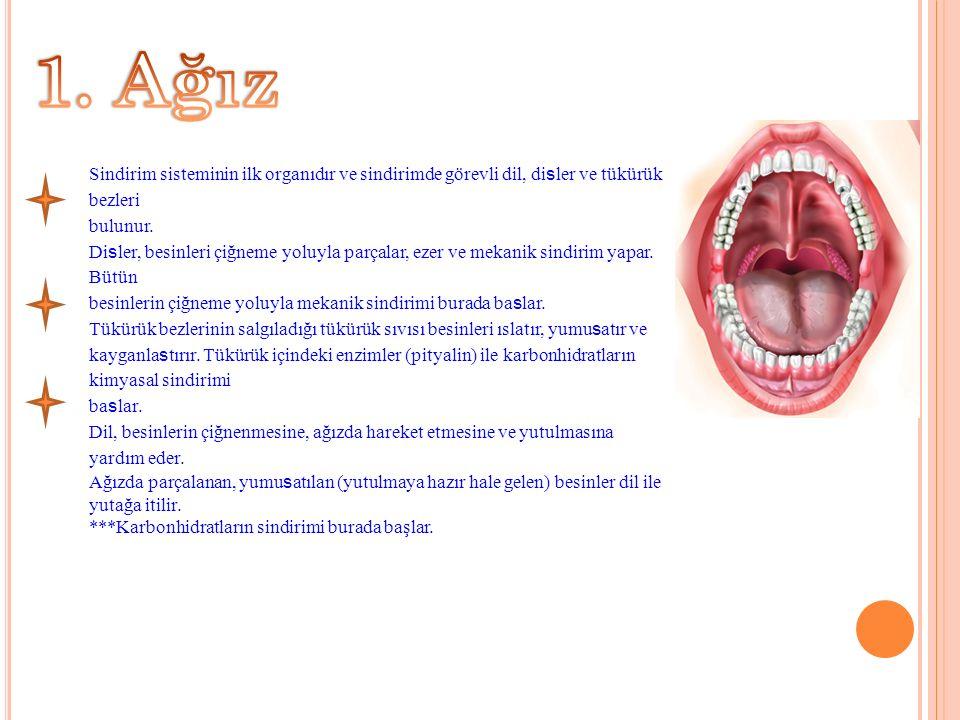 1. Ağız Sindirim sisteminin ilk organıdır ve sindirimde görevli dil, disler ve tükürük bezleri. bulunur.