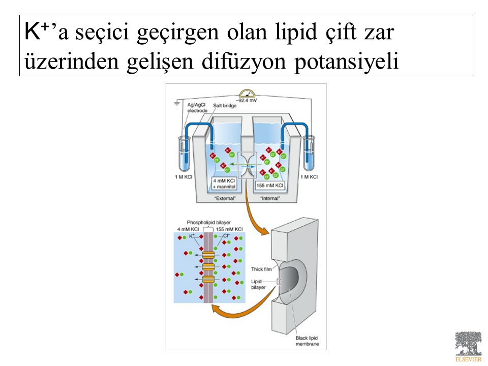 K+'a seçici geçirgen olan lipid çift zar üzerinden gelişen difüzyon potansiyeli