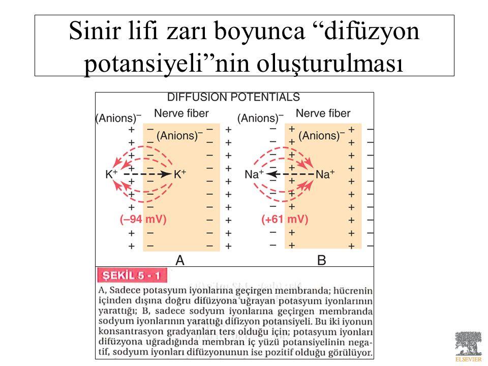 Sinir lifi zarı boyunca difüzyon potansiyeli nin oluşturulması