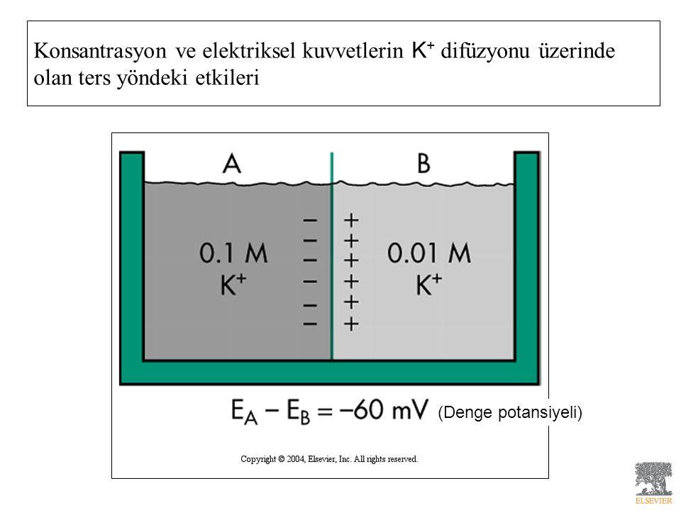 Konsantrasyon ve elektriksel kuvvetlerin K+ difüzyonu üzerinde olan ters yöndeki etkileri