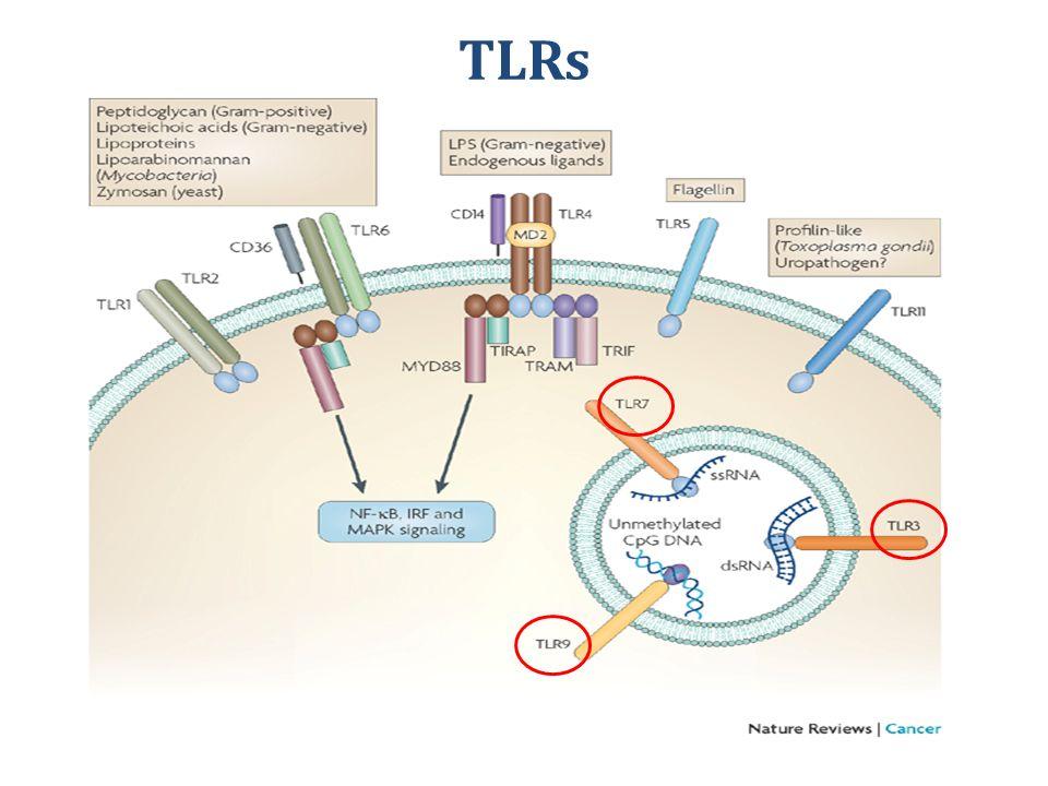 TLRs Mitojen aktiveted ptr kinaz tlr leri sadece bakteriler tetiklemiyodur belki romatoid antijenler de tetikliyordur.