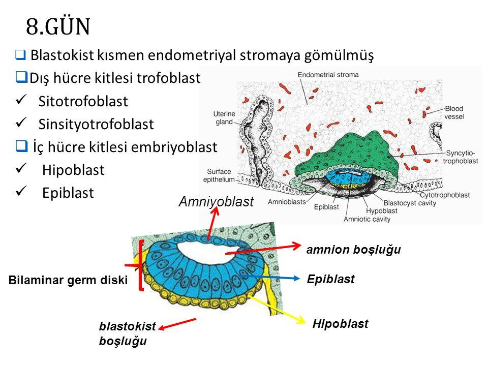 8.GÜN Dış hücre kitlesi trofoblast Sitotrofoblast Sinsityotrofoblast