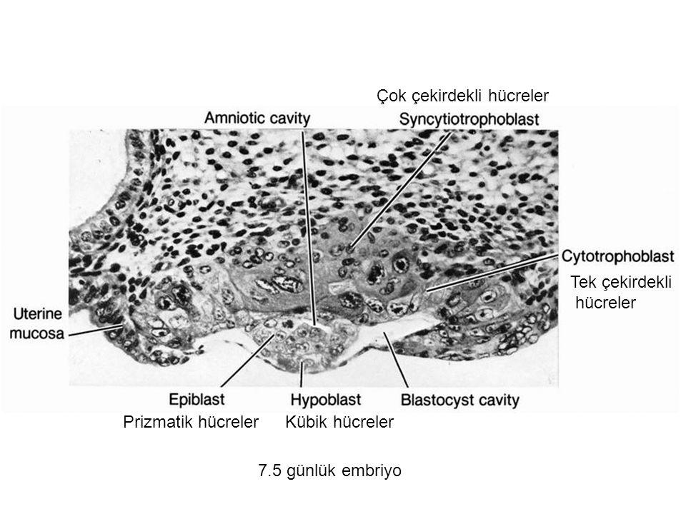 Çok çekirdekli hücreler