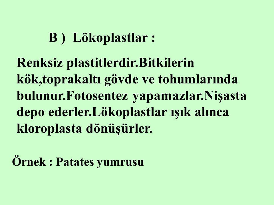 B ) Lökoplastlar :