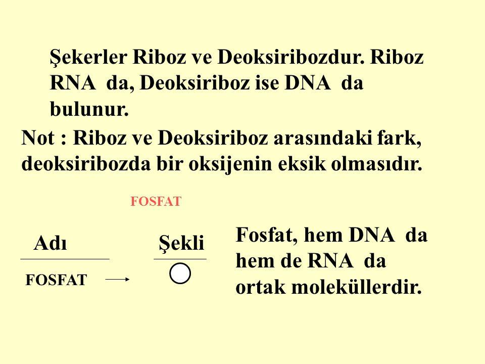 Fosfat, hem DNA da hem de RNA da ortak moleküllerdir. Adı Şekli