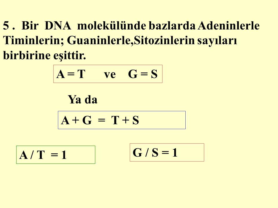 5 . Bir DNA molekülünde bazlarda Adeninlerle Timinlerin; Guaninlerle,Sitozinlerin sayıları birbirine eşittir.