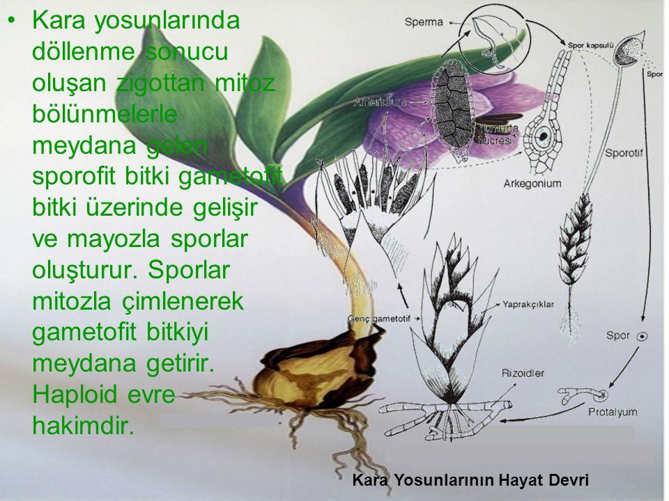 Kara yosunlarında döllenme sonucu oluşan zigottan mitoz bölünmelerle meydana gelen sporofit bitki gametofit bitki üzerinde gelişir ve mayozla sporlar oluşturur. Sporlar mitozla çimlenerek gametofit bitkiyi meydana getirir. Haploid evre hakimdir.
