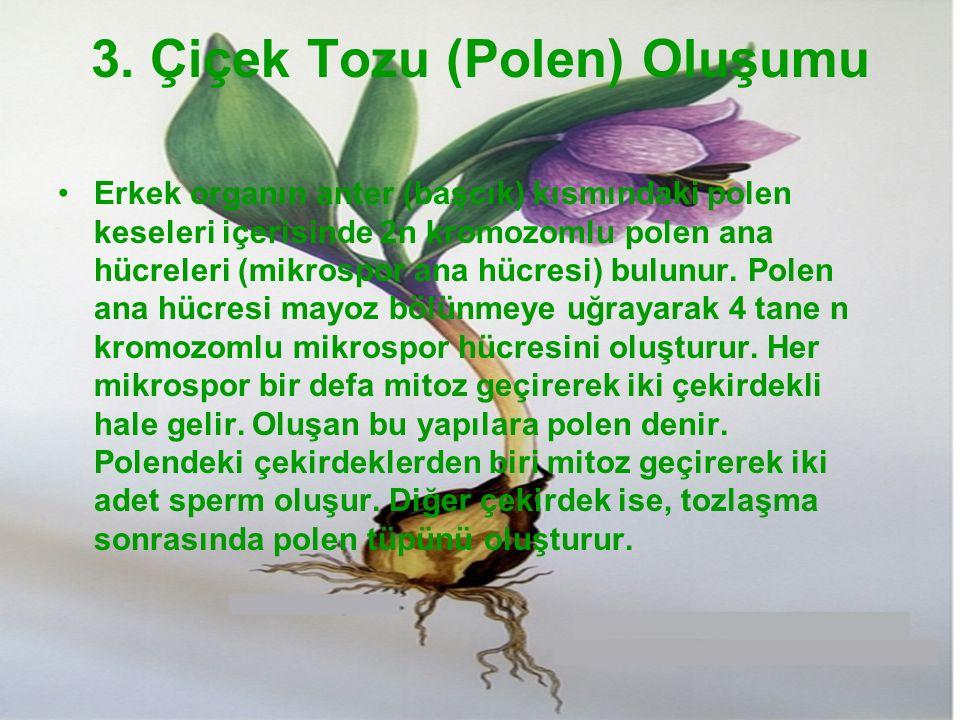 3. Çiçek Tozu (Polen) Oluşumu